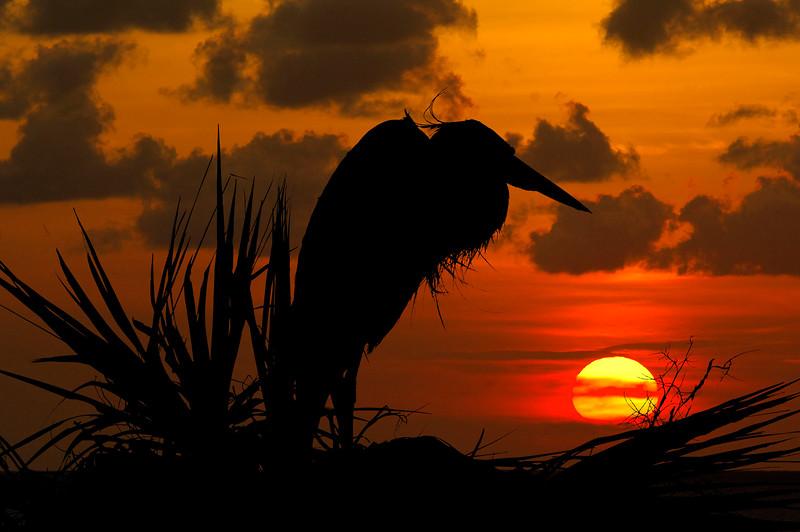 Great Blue Heron - Viera Wetland - Melbourne, Florida