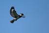 Kingfisher-Male-VeiroWetlands-11-16-SJS-003
