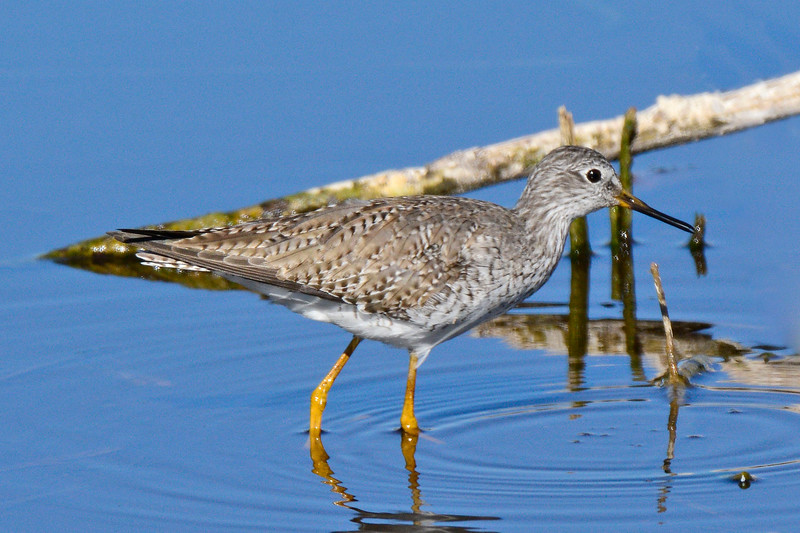LesserYellowLegs-LAWD-2-10-17-SJS-002