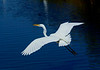 GreatEgret-23