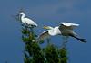 GreatEgret-50