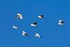 SnowyEgret-MerrittIslandNWRFL-12-10-17-SJS-002