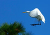 GreatEgret-206-10