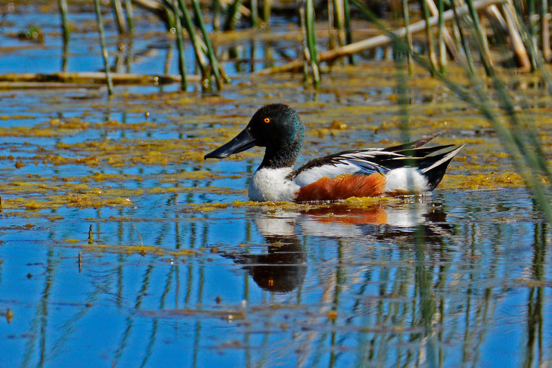 NorthernShoveler-GlacierNP-2016-SJS-003