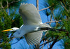 GreatEgret-206-15