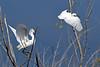 SnowyEgret-LAWD-6-1-18-SJS-003