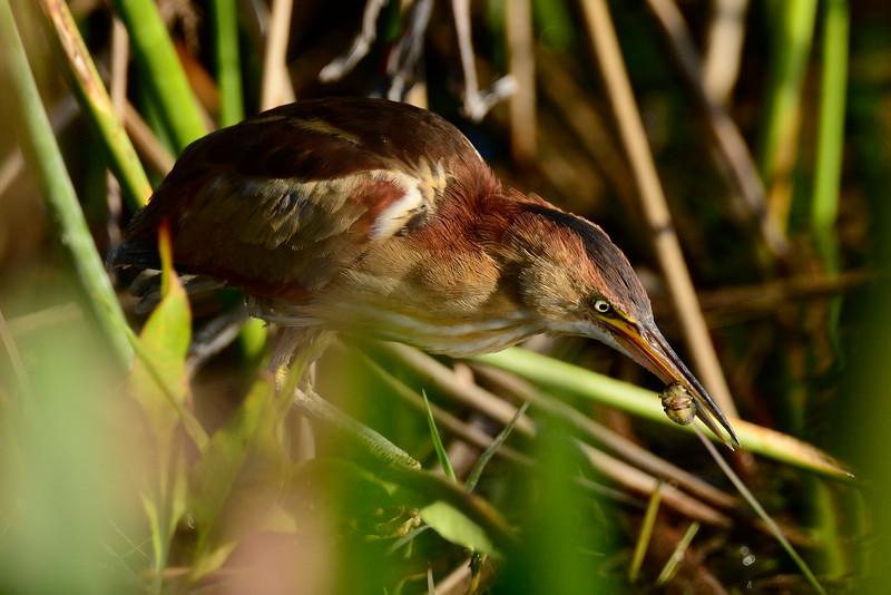 Least Bittern - Viera Wetlands - Melbourne, Florida