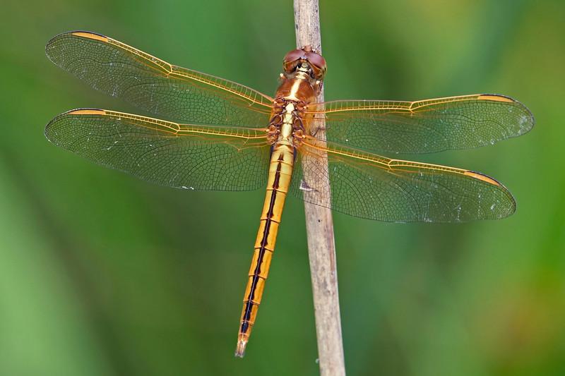 Golden-wingedSkimmer-Alabama-6-18-18-SJS-002