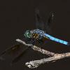 BlueDasher-BoydPark-4-12-19-SJS-003