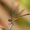 Four-spottedPennant-EmeraldaMarshFL-4-7-18-SJS-001