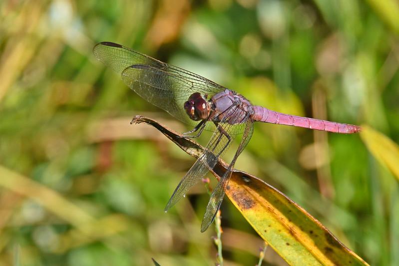 RoseateSkimmer(male)-OrlandoWetlandsFl-11-26-17-SJS-004