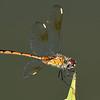 4-SpottedPennant(female)-LAWD-8-24-18-SJS-001