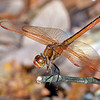 Golden-wingedSkimmer-SawgrassPreserveFL-10-21-18-SJS-001