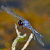 GreatBlueSkimmer-Male-2014-sjs-005