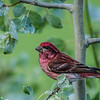 Purple Headed Finch