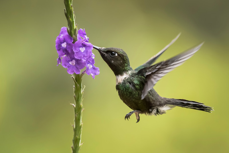 Purple-throated Woodstar Hummingbird