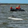 Beluga Whale Watching