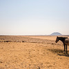 Wild Horse of the Namib