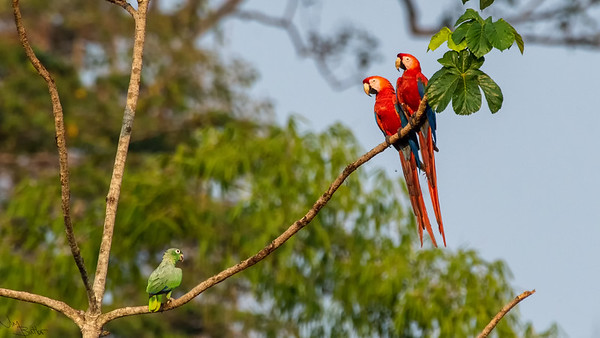 Pair of Macaws