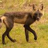 Fox of Aberdeen Glen