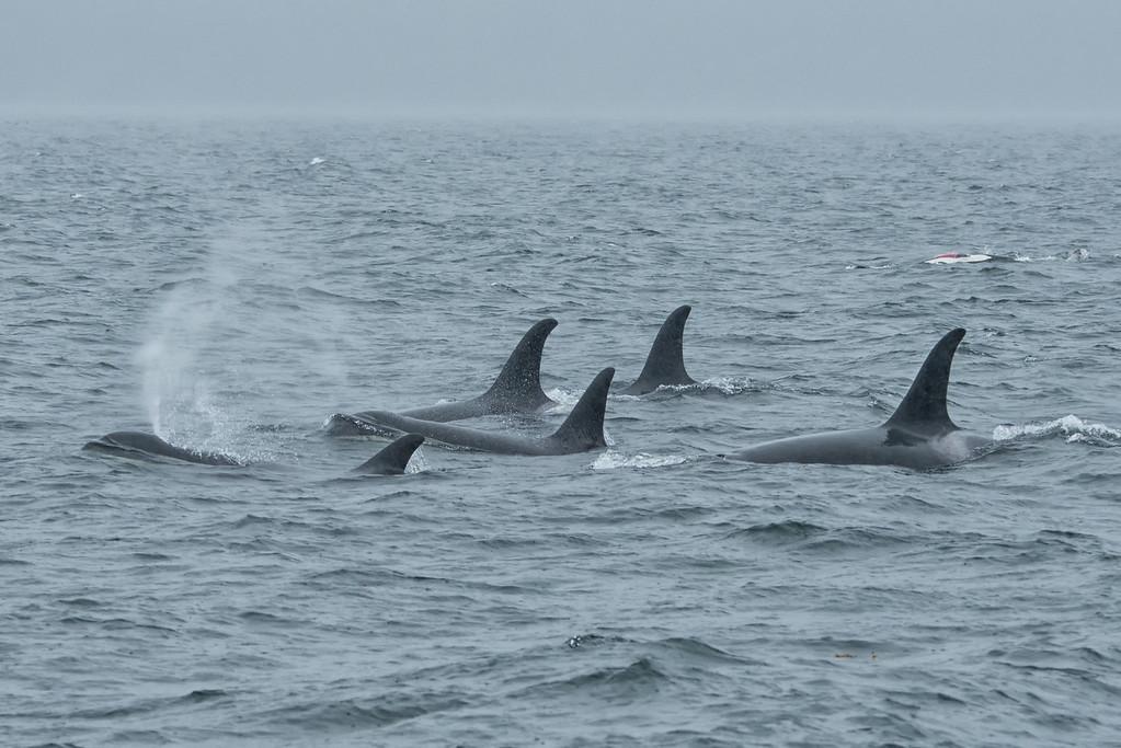 Orca 7