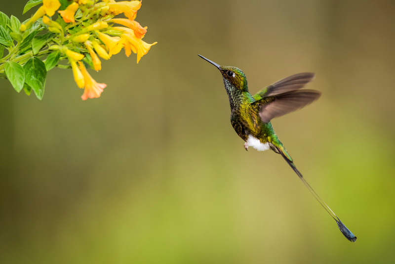 Booted Racket-tail Hummingbird in Flight