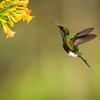 Booted Racket-tail Hummingbird in Flight