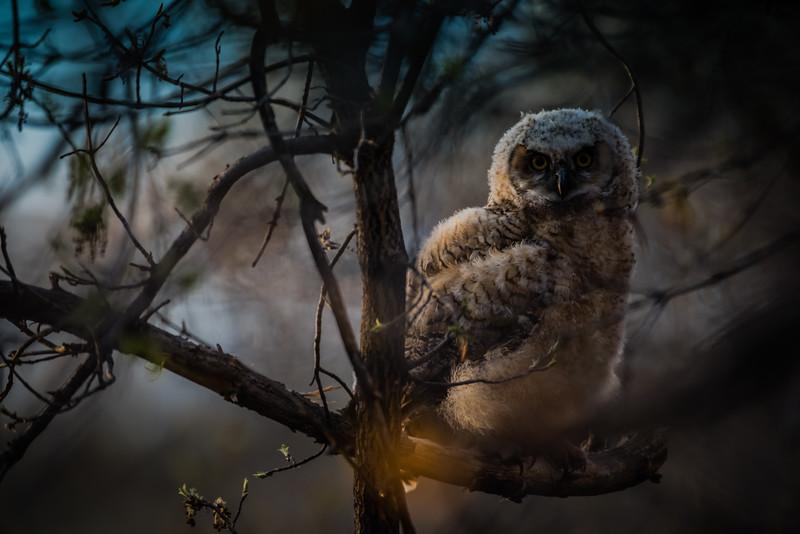 Evening Owl