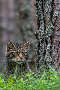 Scottish Wildcat (Felis silvestris Grampia), 3