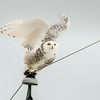 Snowy Owl preparing to fly