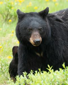 Black Bear in the Rain