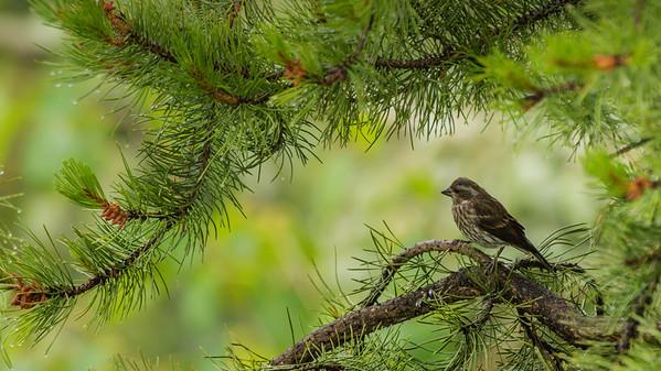 Pine Siskin
