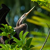 Anhinga and Guest