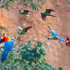 Parrots and Macaws