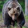 Big Male Brown Bear