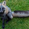 The Photogenic Fox