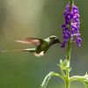 Booted Racket-tail in Flight