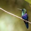 Greencrowned Woodnymph Hummingbird