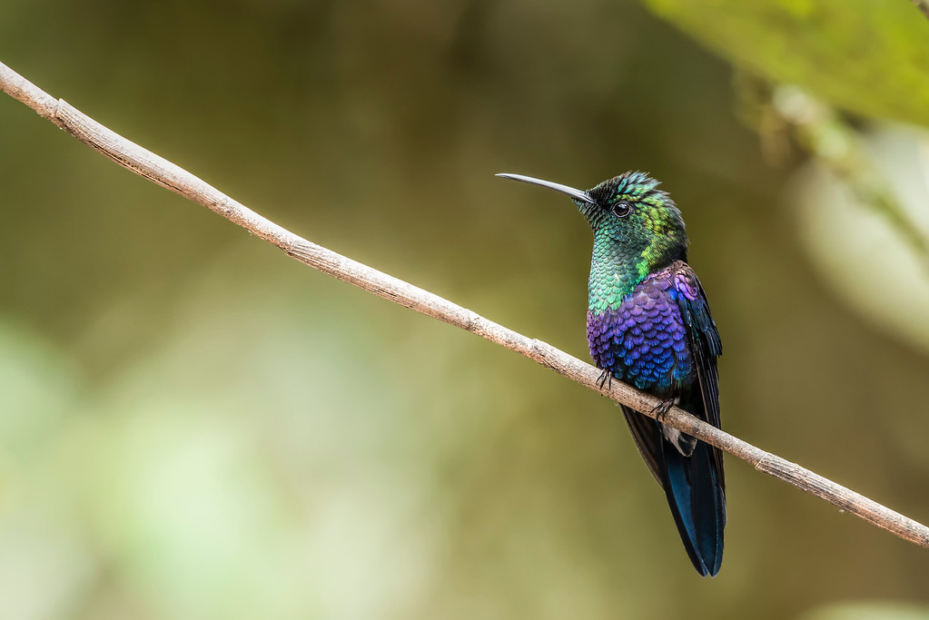 Greencrowned Woodnymph Hummingbird