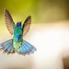Sparkling Violetear in Flight