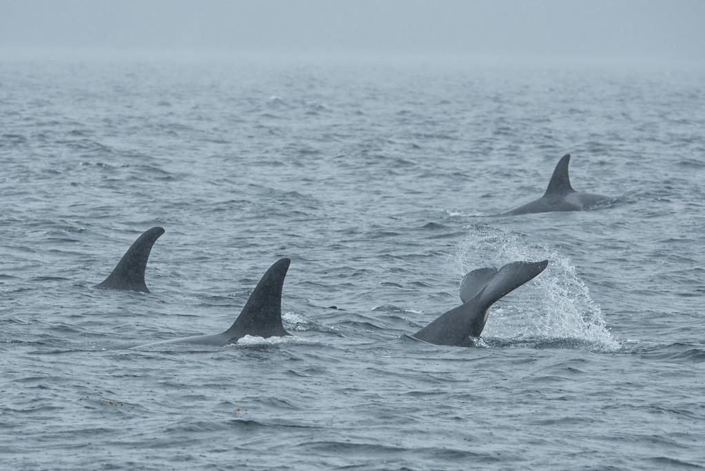 Orca 6