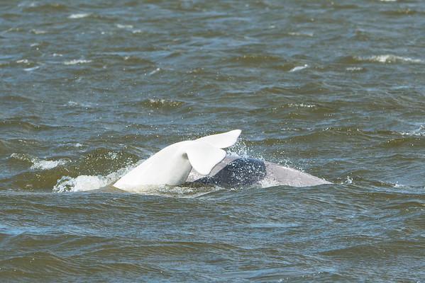 Beluga Tail