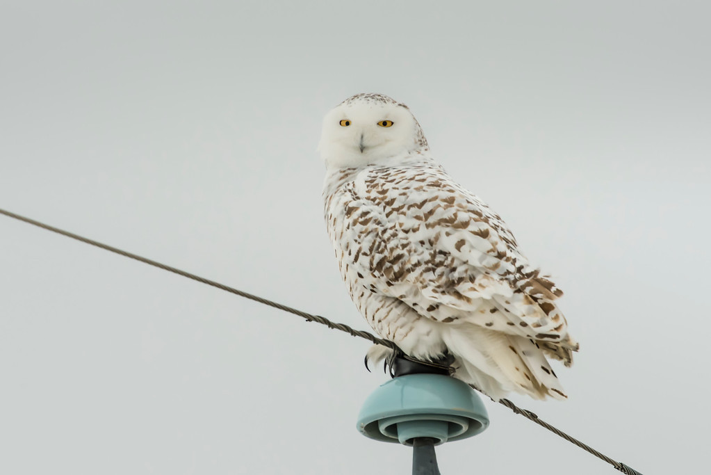 Perched on a power pole in southern Alberta