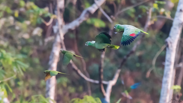 Parrots in Formation