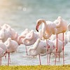 Flamingos of Shark Island