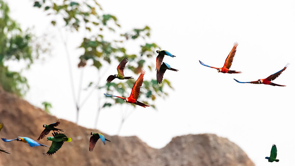 Macaws and Parrots