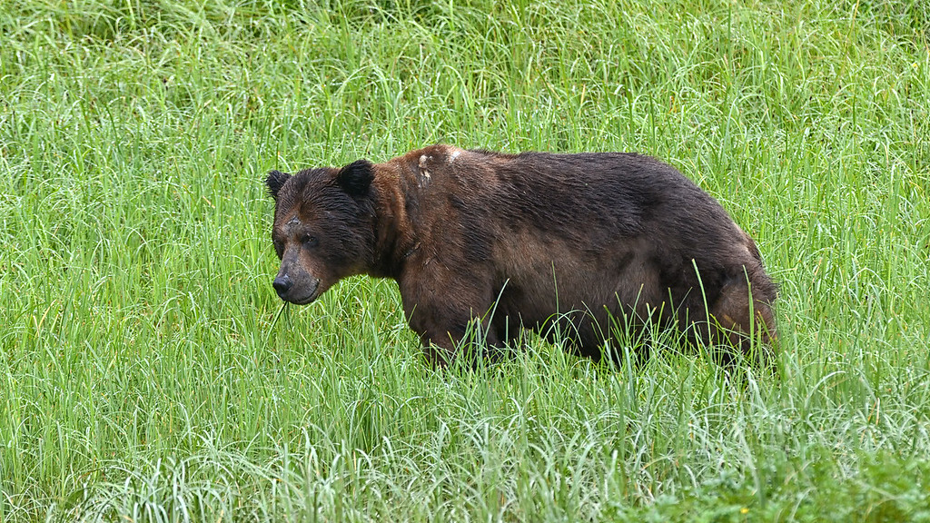 Grizzly Male