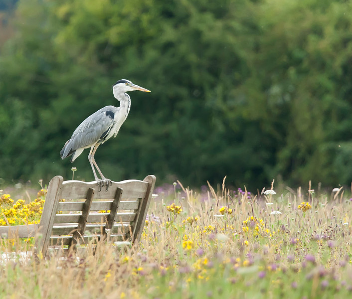 Grey Heron Perched on a Wooden Seat