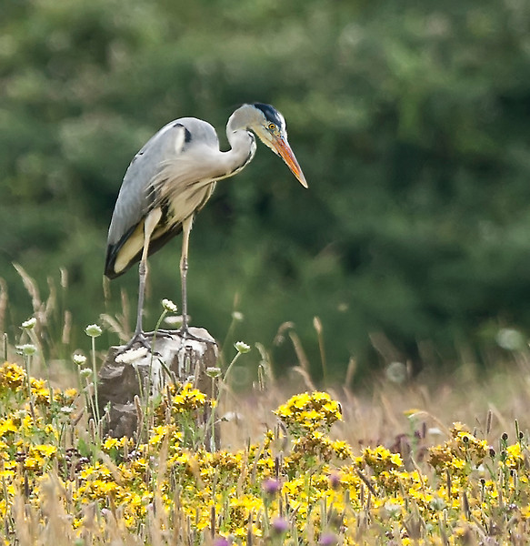 Grey Heron Perched on a tree stump in a meadow