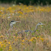 Grey Herons Waiting in a Wild Flower Meadow